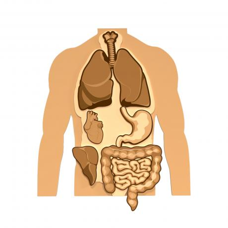 Магнитная анатомическая модель внутренних органов (черно-белая)