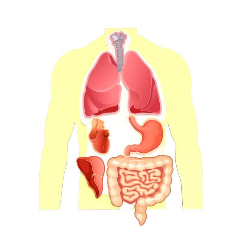 Магнитная анатомическая модель внутренних органов (цветная) фото