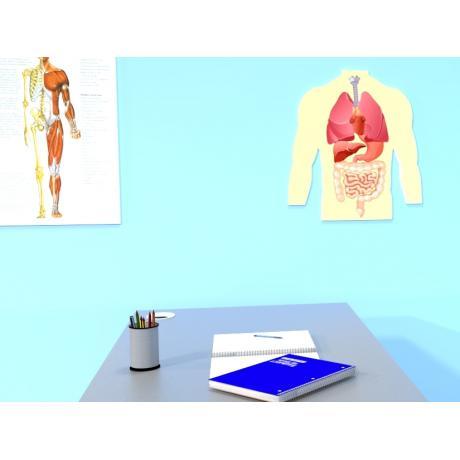 Магнитная анатомическая модель внутренних органов (цветная)